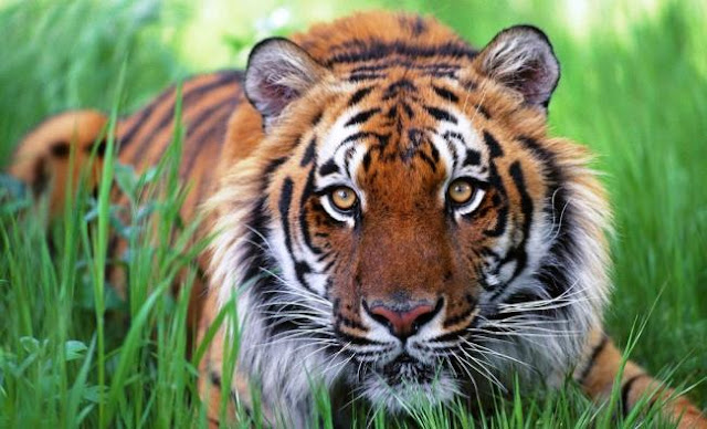 Assam, Bengal forest officials arrest five for killing tiger