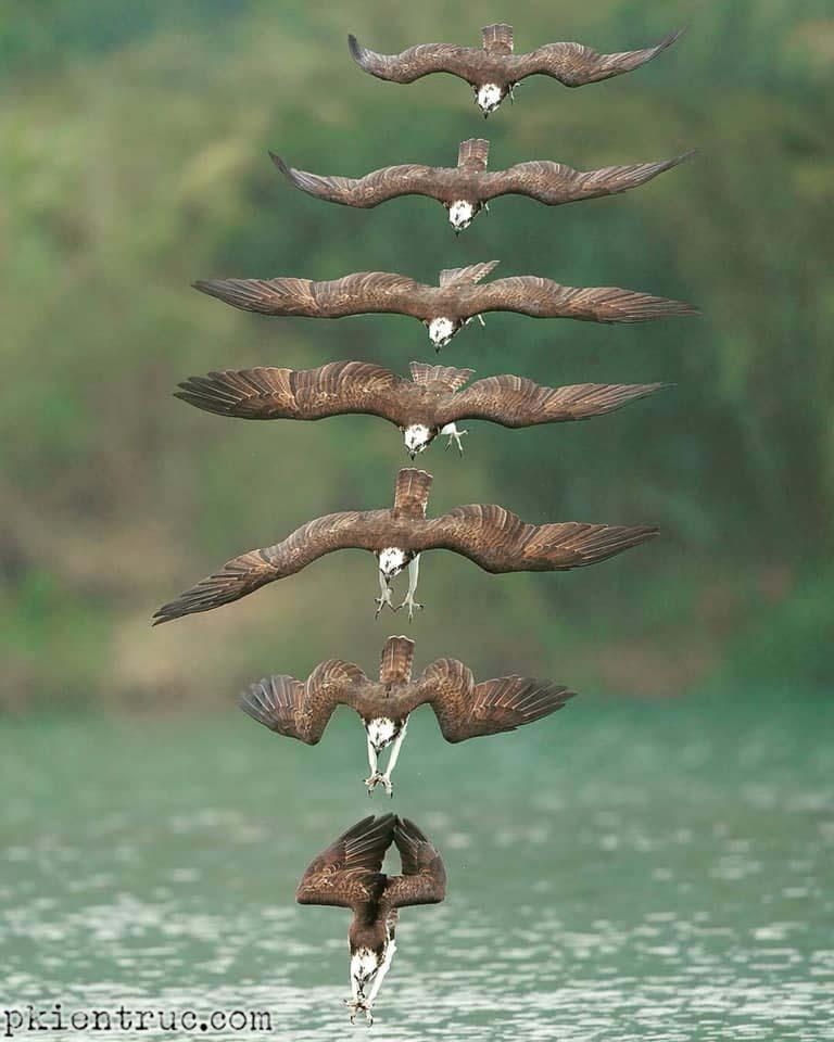 đại bàng cá đang săn mồi