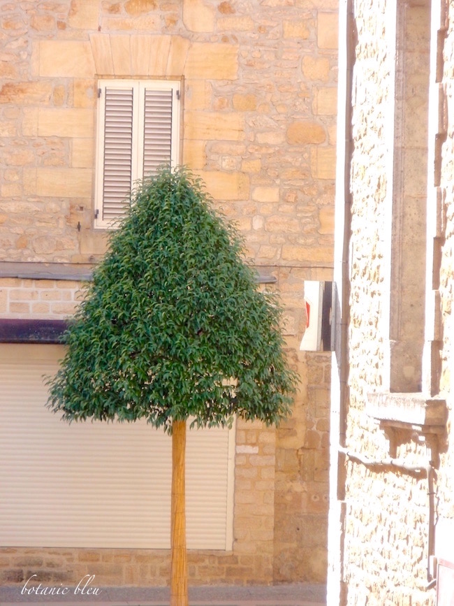 french-style-topiary-tree-sarlat-france