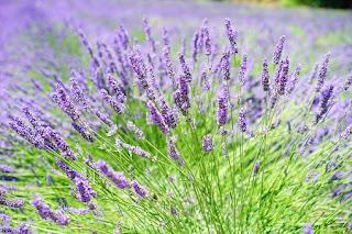 Lavender plants ready for harvesting