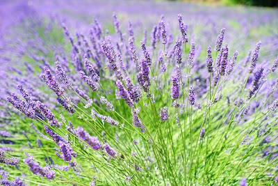Lavender plants ready for harvesting