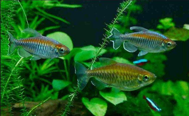 Harga Ikan Kongo Tetra