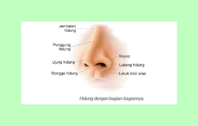 Bagian Luar Hidung, Fungsi Bagian Hidung