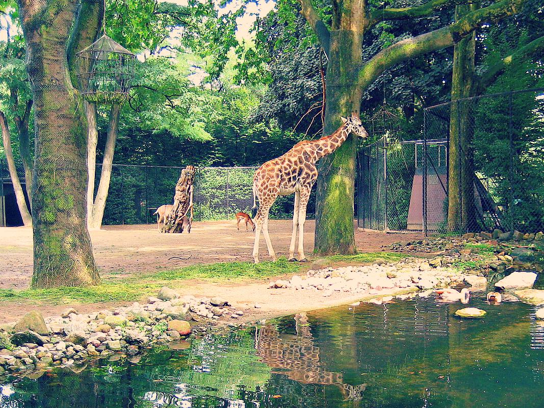 żyrafy na wybiegu