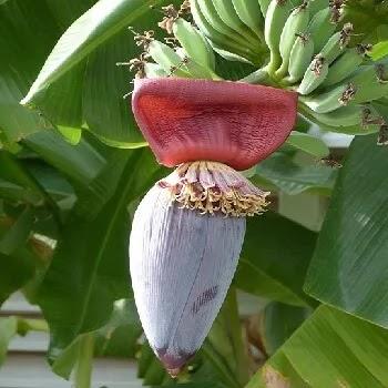 केळीची फुले, banana flower vegetables name in Marathi
