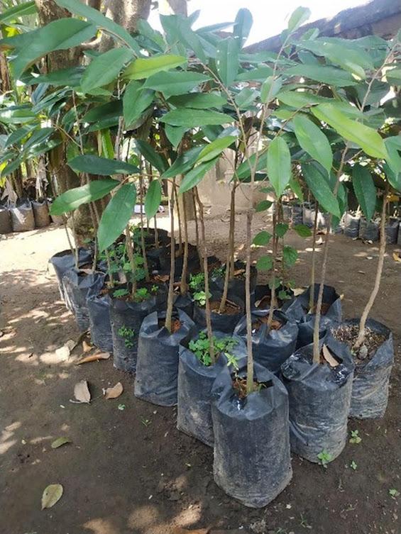 Bibit Durian Montong super cepat berbuah hasil okulasi bisa untuk tambulampot bisa COD Sumatra Barat