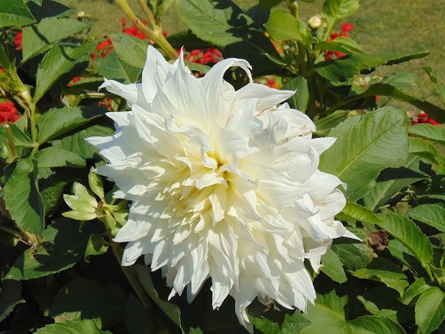flowers in nishat garden