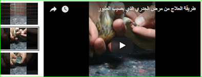 مرض الجدري الذي يصيب الطيور