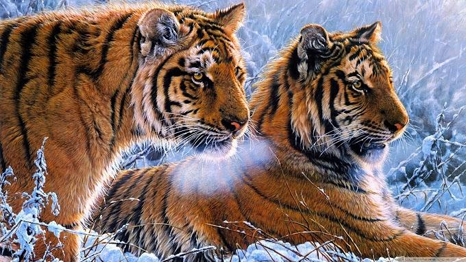 Tigres Siberianos, Tigre de Amur, Predador