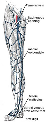 Great Saphenous Vein Function, Diagram And Body Maps