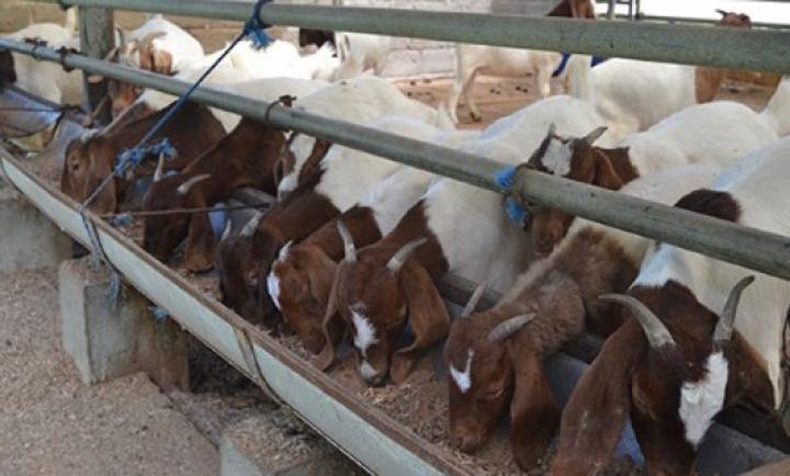 Rahsia ternak kambing dapat pendapatan lumayan