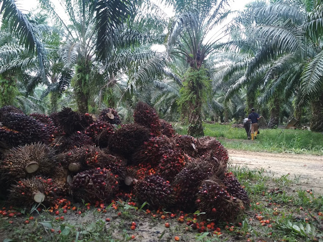 Indonesian Workers Coalition Demands Specific Labor Law for Indonesian Palm Oil Sector