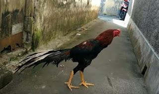 Ayam Bangkok Ekor Lidi Super