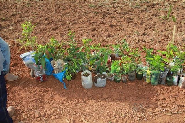 CASCALHO RICO: Prefeitura faz plantio de cerca de 800 mudas de árvores frutíferas