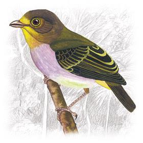 Pássaro Papinho-Amarelo (Piprites chloris)