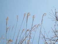 Curled grass heads, Sakurahima, Japan