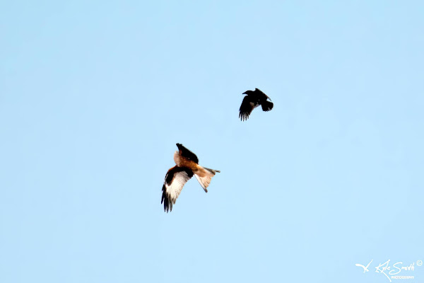 Red kite mobbed by crow