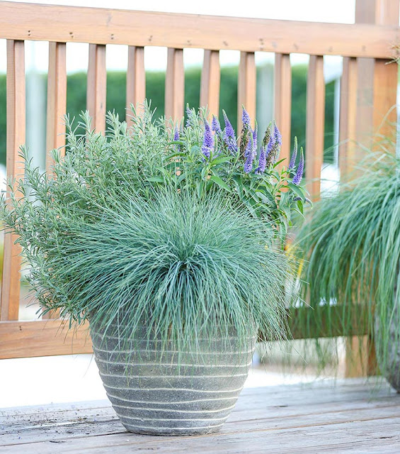 Container Garden 3 Fescue Lavender Pot Up Perennials
