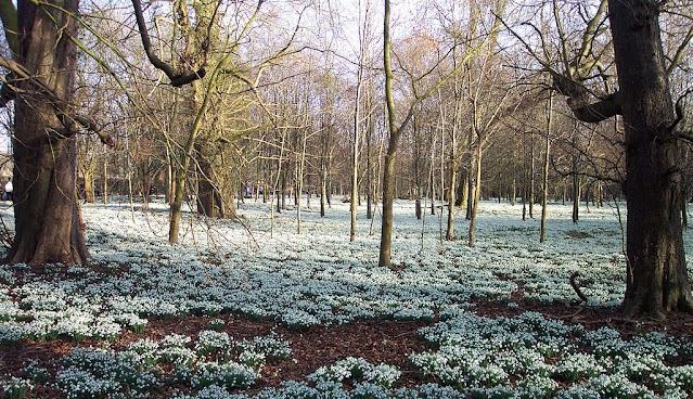 Pradera de Snowdrop en Welford Park