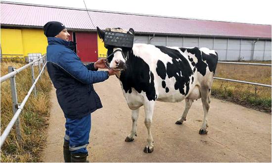 Vacas oculos Realidade Virtual