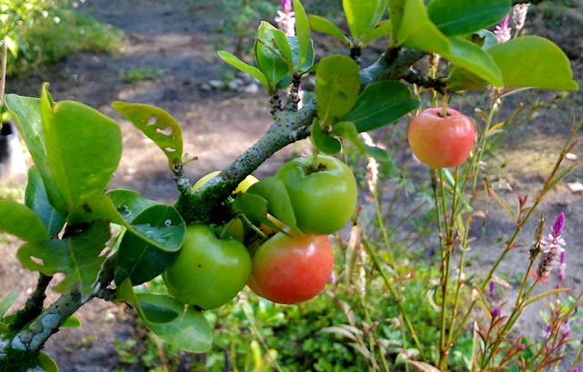 Buah Ceri Cina (Acerola - Barbados Cerry)