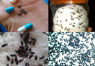 manfaat semut jepang untuk kesehatan