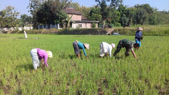 Babinsa Klaten Bantu Petani Kendalikan Gulma Tanaman Padi