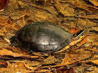memberi-makan-kura-kura-ambon.jpg