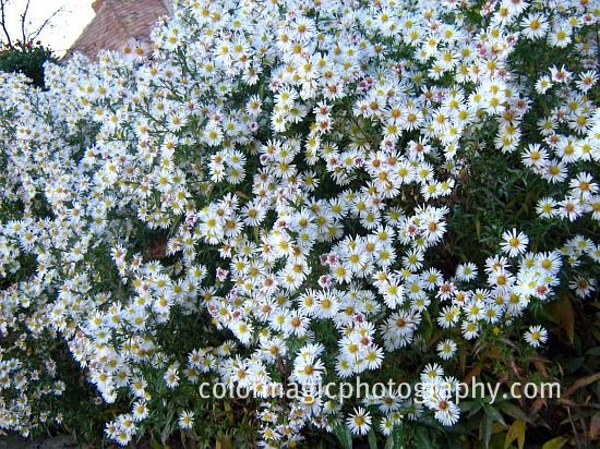Small autumn asters purple and white macro flowers saturday 74 aster vimineus white small aster mightylinksfo