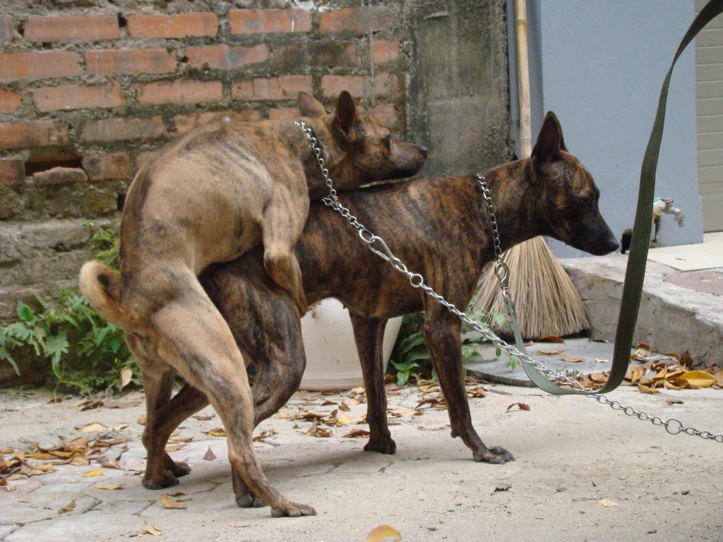 Giống chó nhập nội đã được nuôi thích nghi ở Việt Nam.