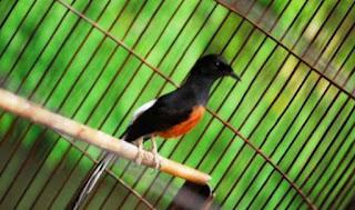 Gambar Burung Murai Batu Harga Pasaran Anakan Jantan Terbaru