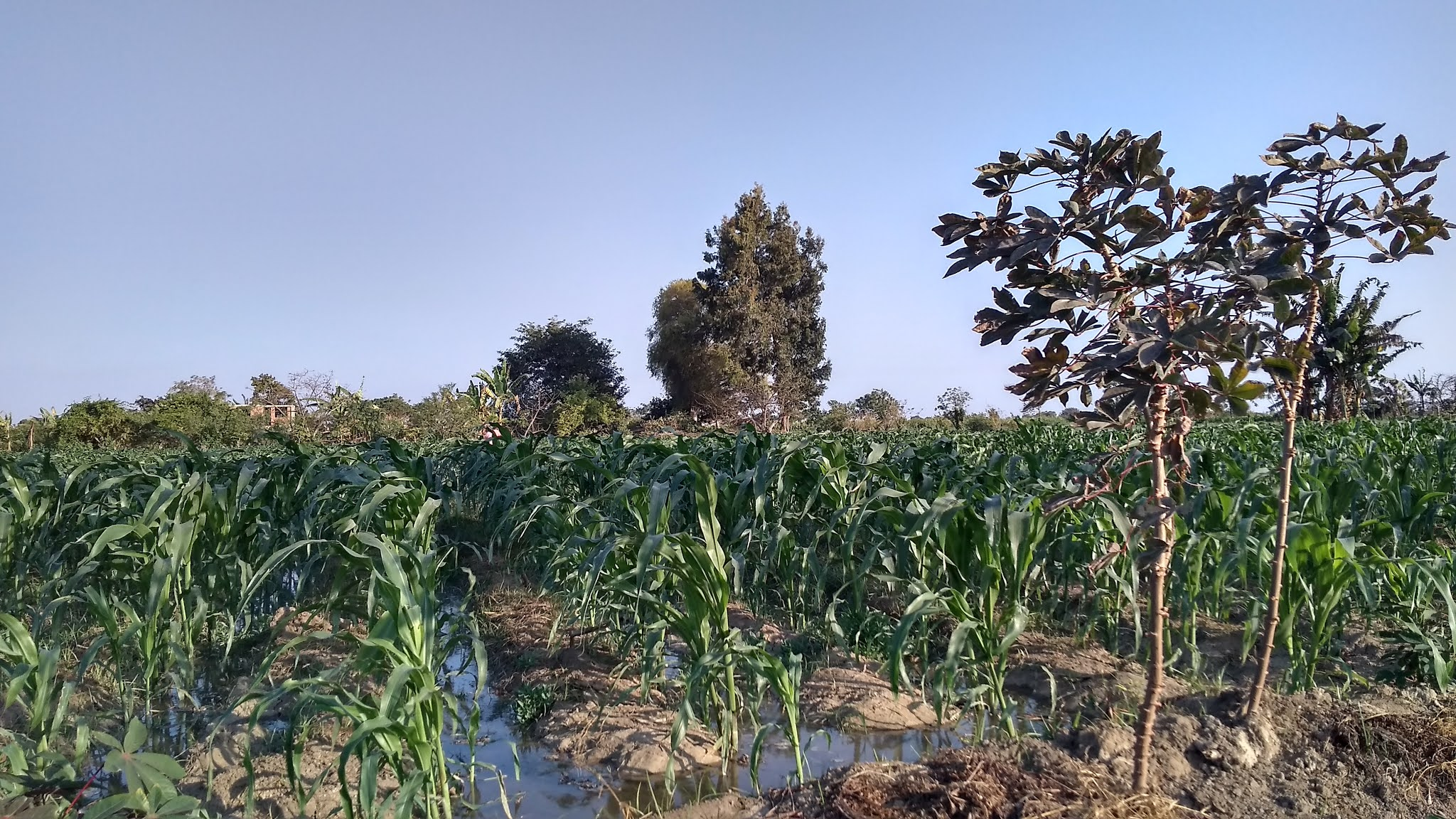 Siembra de maíz sobre una chacra