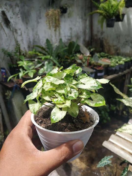 Keladi liliput Keladi mini liliput mini Tanaman hias Bunga Hias Papua Barat