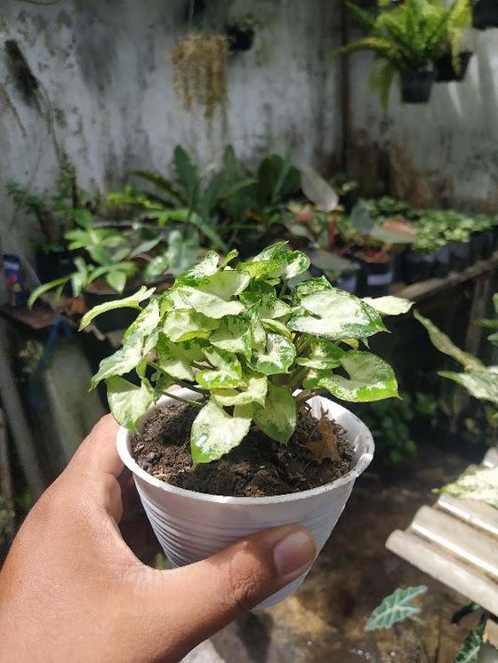 Keladi liliput Keladi mini liliput mini Tanaman hias Bunga Hias Tangerang Selatan