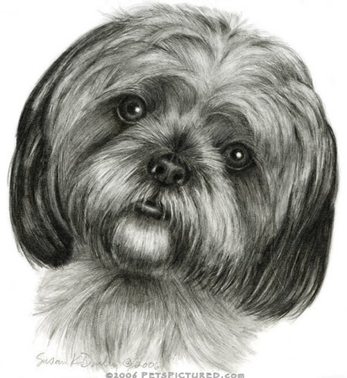 13-Shih-Tzu-Susan-Donley-Cats-and-Dogs-Featured-in-Pencil-Portraits-www-designstack-co