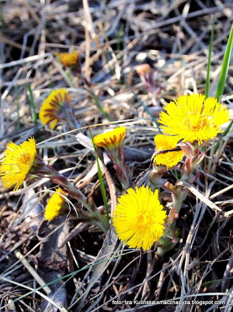 podbiał , rośliny , kwiaty , wiosna , las łęgowy , łęgi , nad rzeką , nad wisłą , przyroda , wiosenna wycieczka , wędrowanie , rośliny jadalne , zioła