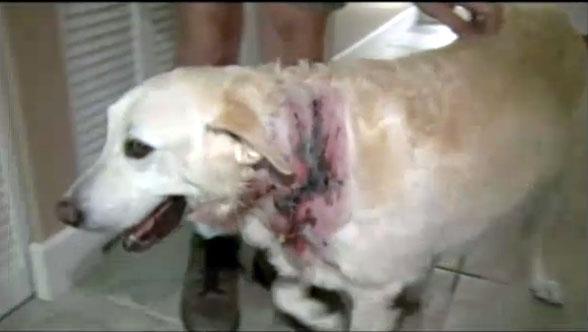 Dogs Bite Decatur Al: SOUTH MIAMI-DADE FL - PIT BULL MIX