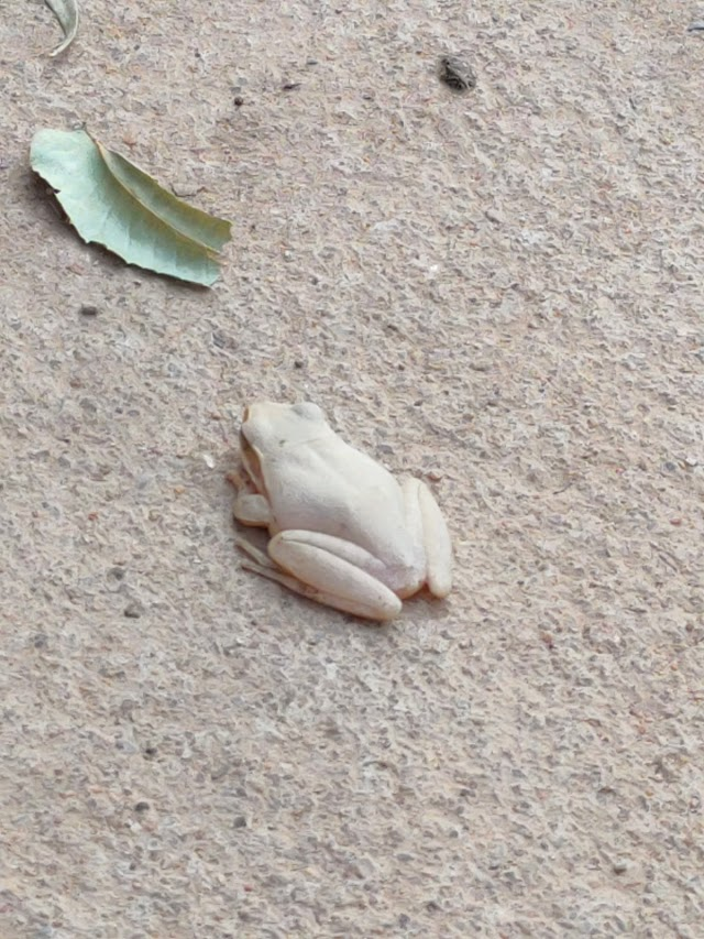 A Frog That can Change its Colour