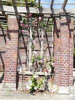 Mandevilla vine on the Wintergarden wall - Auckland Domain, New Zealand