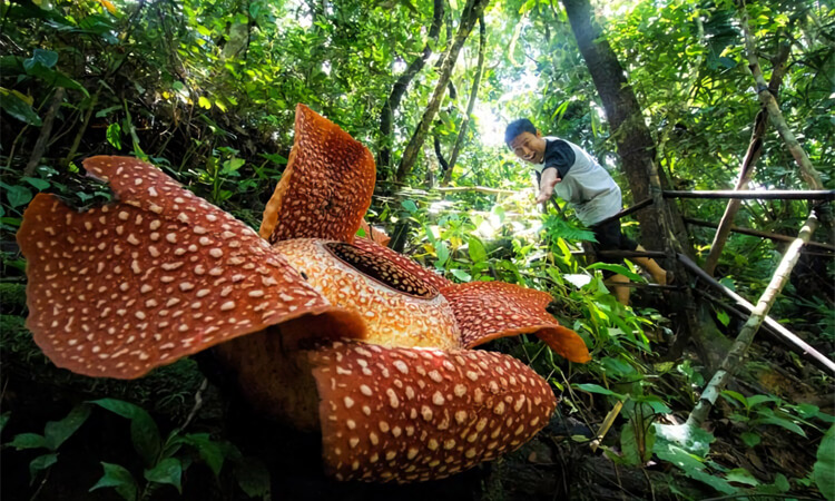 sejarah bunga rafflesia