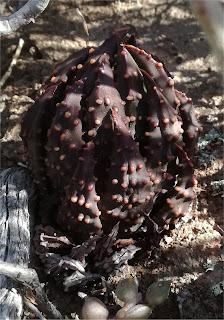 Tulista pumila - Brewelskloof area - dark form