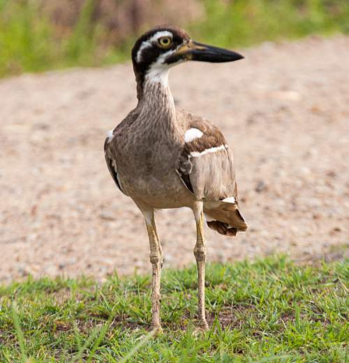 Birds of India - Photo of Beach thick-knee - Esacus magnirostris