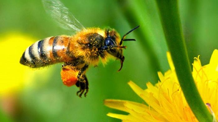 lebah madu, jenis lebah madu, ratu lebah madu, kandang lebah madu, ciri khusus lebah madu, nama latin lebah madu, manfaat lebah madu, apis cerana, morfologi lebah madu