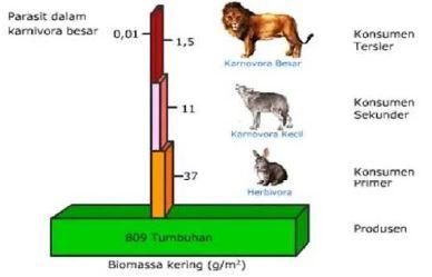 Gambar piramida biomassa - Sumber: www.amongguru.com