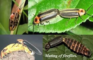 mating of fireflies.