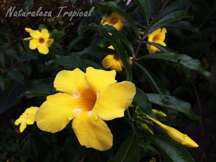 La Trompeta de Oro o flor de Mantequilla, Allamanda canthartica