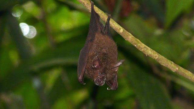 Un estudio señala a una especie de murciélago de Asia como el probable portador original del nuevo coronavirus