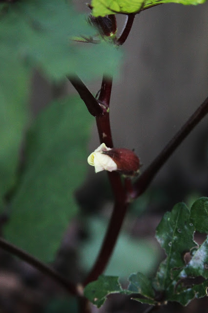 okra, okra flowers, autumn, garden, Anne Butera, My Giant Strawberry