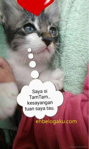 siam kittens, main coon kittens, kittens, kucing siam,