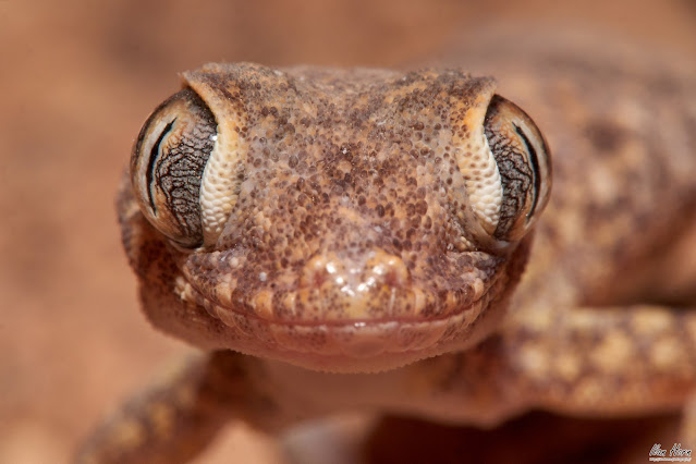 Short-Fingered Gecko Stare